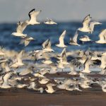 Kittiwakes and terns Findhorn beach 13 Sept 2019 Richard Somers Cocks