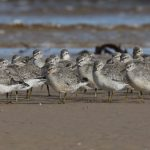 Knot Findhorn beach 6 Sept 2019 Richard Somers Cocks