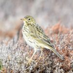 Meadow Pipit Cabrach 11 Sept 2019 Mark Keighley