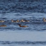Pintail Findhorn Bay 11 Sept 2019 Richard Somers Cocks
