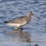 Bar tailed Godwit yellow PEN Portgordon 12 Oct 2019 Brian Bates 2