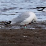 Black headed Gull green JEYO Lossie estuary 23 Sept 2019 Richard Somers Cocks