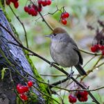 Blackcap Forres 22 November 2019 Alison Ritchie