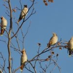 Waxwings Forres 8 Nov 2019 Richard Somers Cocks 1