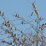 Waxwings Forres 8 Nov 2019 Richard Somers Cocks 2