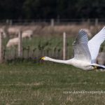 Whooper Swan ZVD Bailliesland 11 Oct 2019 David Devonport