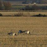 Barnacle Goose Netherton 4 Dec 2019 Jack Harrison 2