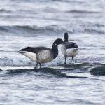 Grey bellied Brent Geese Nairn 6 Dec 2019 Dave Pullan 4