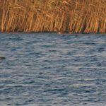 Pochard Loch Spynie 3 Dec 2019 Jack Harrison
