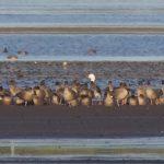 Snow Goose Findhorn Bay 31 Dec 2019 Richard Somers Cocks