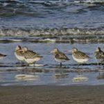 Bar tailed Godwits Nairn 17 Jan 2020 Jack Harrison