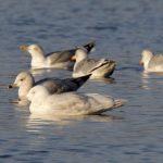 Glaucous Gull Loch Spynie 1 Jan 2020 Richard Somers Cocks 1