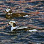 Long tailed Ducks Burghead harbour 18 Jan 2020 Jack Harrison 1