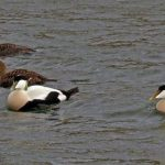 Eider Burghead harbour 26 Feb 2020 Jack Harrison