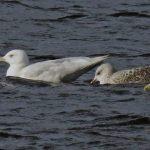Glaucous Gull Loch Spynie 5 Feb 2020 Jack Harrison
