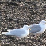 Iceland Gull Birnie 26 Feb 2020 011
