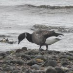 Brent Goose dark bellied Nairn 15 Mar 2020 Colin Leslie