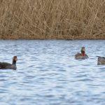 Greylag Goose NAJ Loch Spynie 5 Mar 2020 Richard Somers Cocks