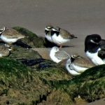 Ringed Plovers Hopeman 4 Mar Jack Harrison