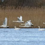 Whooper Swans Loch Spynie 4 Mar 2020 Richard Somers Cocks