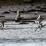 Black tailed Godwit Findhorn Bay 4 Jun 2020 2