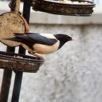 Rose coloured Starling Elgin 2 Jun 2020 Kim McLennan 4