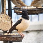 Rose coloured Starling Elgin 2 Jun 2020 Kim McLennan 5