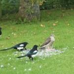 7. Sparrowhawk and 4 Magpies Clochan 24 Sept 2015 Martin CookP