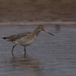 Bar tailed Godwit Lossie estuary 13 Feb 2015 David Main