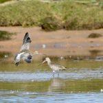 Bar tailed Godwit Lossie estuary 29 Sep 2017 Ron Macdonald
