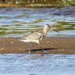 Bar tailed Godwit Lossie estuary 4 Aug 2013 Gordon Biggs 2