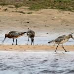 Bar tailed Godwit Lossie estuary 8 Jul 2015 Gordon Biggs 2