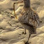 Bar tailed Godwit Nairn Dec 2013 Seamus McArdle