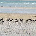 Bar tailed Godwits Burghead 16 Aug 2013 Gordon Biggs