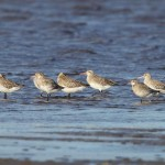 Bar tailed Godwits Findhorn Bay 27 Oct 2013 Richard Somers Cocks
