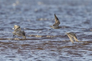 Bar-tailed Godwits, Findhorn Bay 5 December 2012 (Richard Somers Cocks)