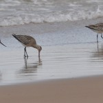Bar tailed Godwits Lossiemouth 17 Aug 2013 Margaret Sharpe