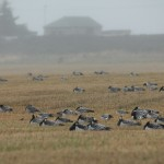 Barnacle Geese Tugnet 7 Oct 2015 022P Martin Cook