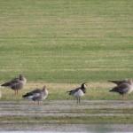 Barnacle Goose Broadley 17 Dec 2015 James Allison