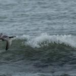 Barnacle Goose Lossiemouth 6 Oct 2014 David Main