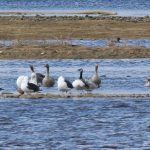 Barnacle Goose Spey estuary 18 Mar 2018 Martin Cook