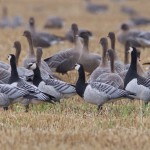 Barnacle Goose Waterford 7 Oct2015 Richard Somers Cocks