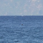Basking Shark off Findhorn 16 Aug 2013 Richard Somers Cocks