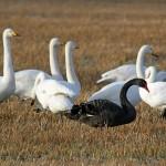 Black Swan Calcots 26 Dec 2014 Gordon Biggs 1