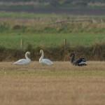 Black Swan Calcots 5 Nov 2014 David Main