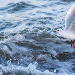 Black headed Gull Buckpool 16 Nov 2017 Martin Cook