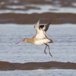 Black tailed Godwit Findhorn Bay 10 Feb 2015 Richard Somers Cocks