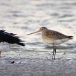 Black tailed Godwit Findhorn Bay 13 Jan 2015 Richard Somers Cocks