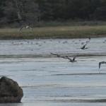 Black tailed Godwit Findhorn Bay 25 Aug 2014 Gordon McMullins
