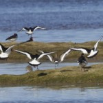 Black tailed Godwit Findhorn Bay 30 March 2013 Richard Somers Cocks